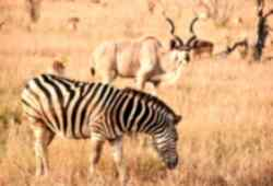 Zebra and Kudu in South Africa