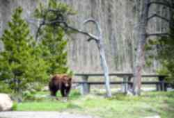 Spot grizzly bears in the wild in Canada